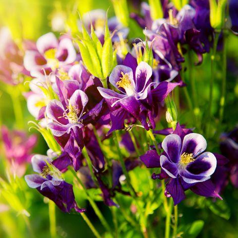 Winky Purple & White Columbine