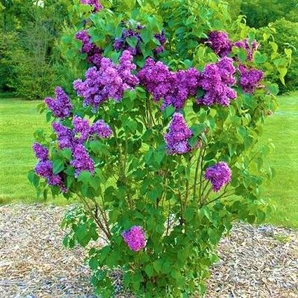 Yankee Doodle Lilac