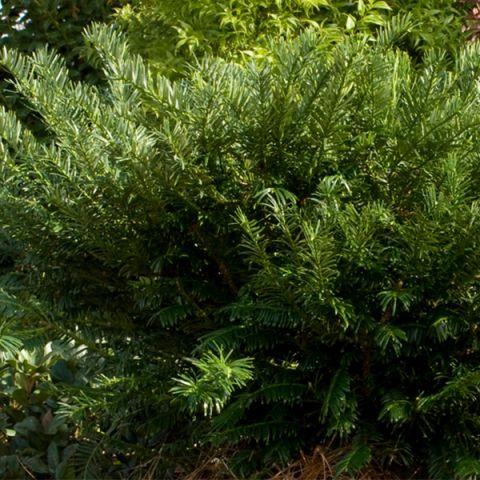 Yewtopia Plum Yew Shrub