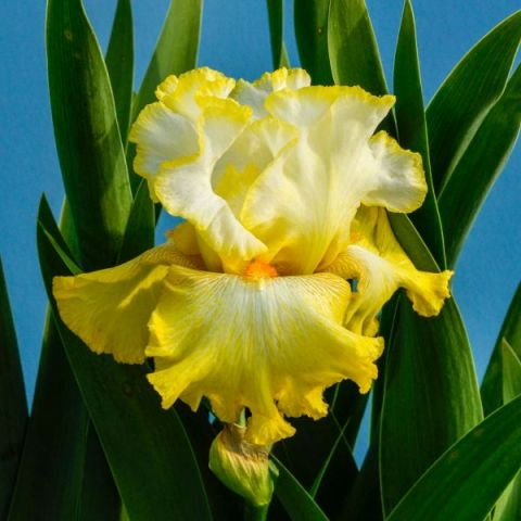 Zesting Lemons Tall Bearded Iris