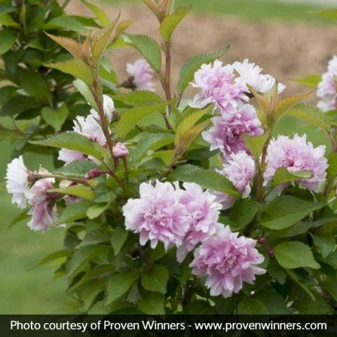 Zuzu™ Dwarf Flowering Cherry Tree