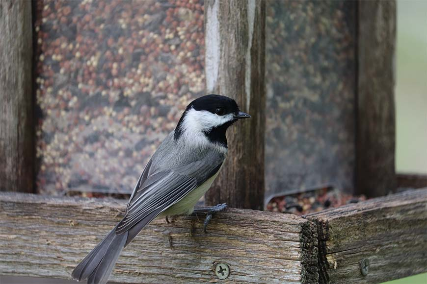 Attracting, Identifying, and a bit of Chickadee Ecology across North America