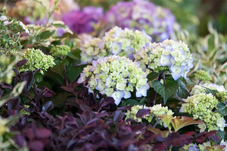 bigleaf Hydrangea a popular fast-growing landscape shrub, that can change flower colors
